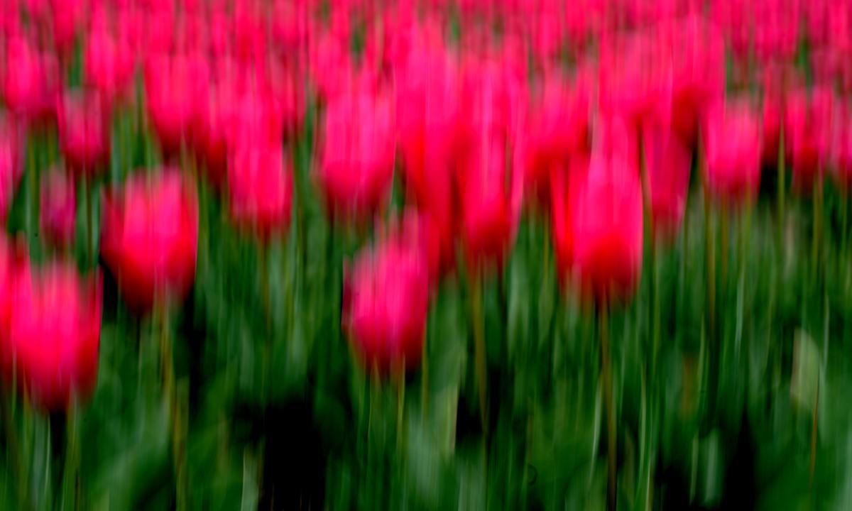 Tulpen 007