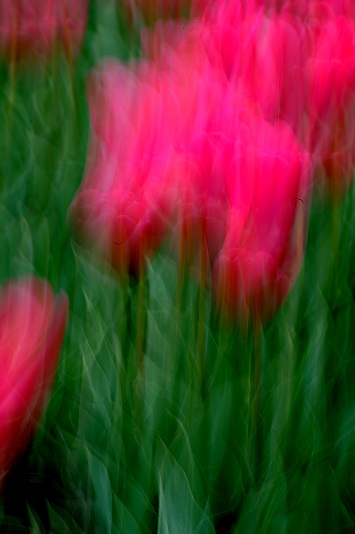 Tulpen 041