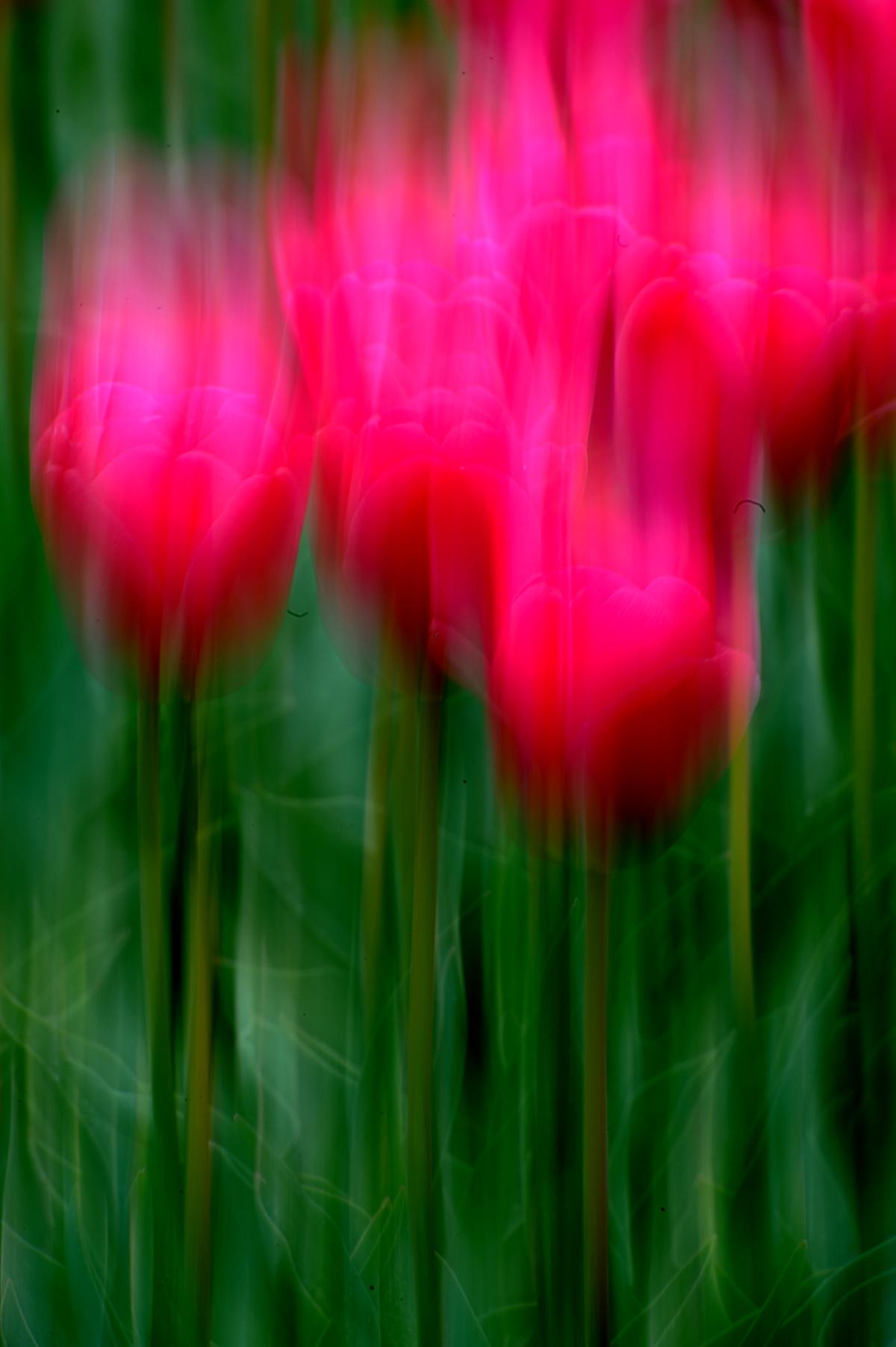 Tulpen 043