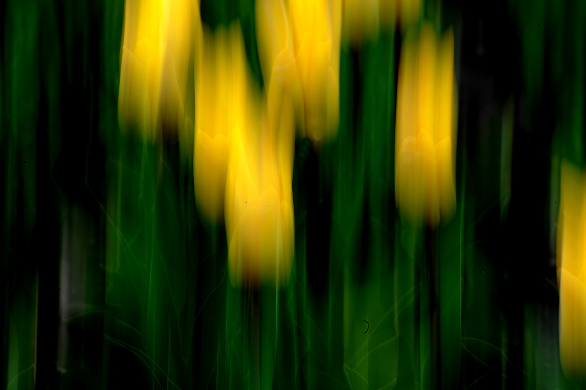 Tulpen 148