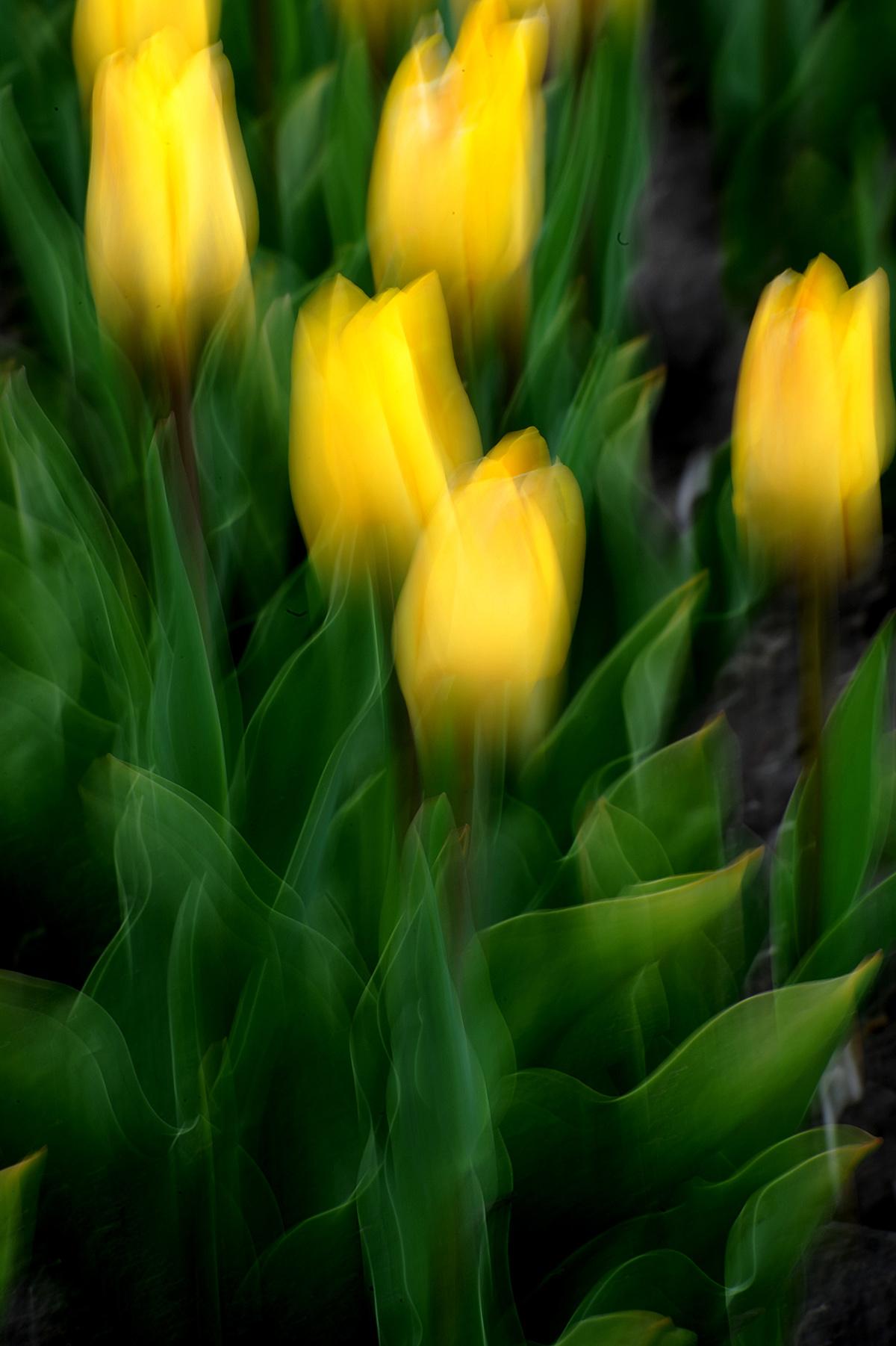 Tulpen 151